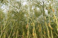 Giacimento del seme oleifero dall'angolo basso Fotografie Stock Libere da Diritti