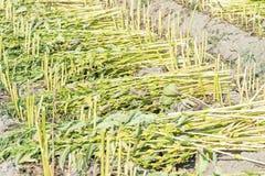 Giacimento del sesamo con i baccelli ed i semi del sesamo in Xigang, Tainan, Taiwan, fine su, macro, bokeh immagini stock