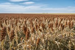Giacimento del sorgo in Kansas Fotografia Stock Libera da Diritti
