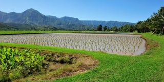 Giacimento del taro in Kauai Hawai, S.U.A. Fotografie Stock