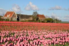 Giacimento del tulipano e del cielo blu Fotografia Stock Libera da Diritti