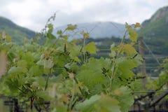Giacimento del vino Fotografie Stock