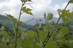 Giacimento del vino Immagini Stock Libere da Diritti