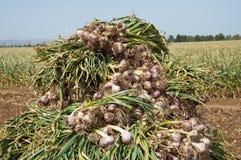 Giacimento dell'aglio Immagine Stock Libera da Diritti