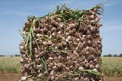Giacimento dell'aglio Fotografia Stock
