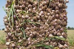 Giacimento dell'aglio Immagini Stock