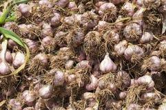 Giacimento dell'aglio Fotografie Stock Libere da Diritti