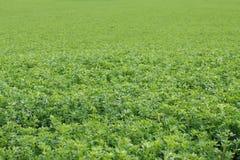 Giacimento dell'alfalfa Fotografie Stock