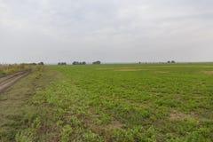 Giacimento dell'alfalfa Immagine Stock