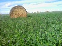 Giacimento dell'alfalfa con le balle di fieno rotonde Immagini Stock Libere da Diritti
