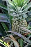 Giacimento dell'ananas al delta del Mekong Immagine Stock