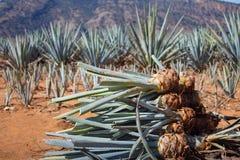 Giacimento dell'ananas Giovani ananas nel campo Raccolta dell'agave nel campo Immagine Stock