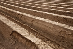 Giacimento dell'asparago Fotografia Stock