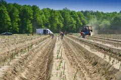 Giacimento dell'asparago Immagini Stock Libere da Diritti