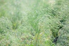 Giacimento dell'asparago Immagine Stock Libera da Diritti
