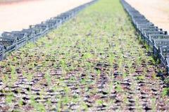 Giacimento dell'asparago Fotografie Stock