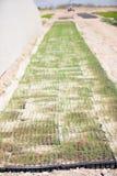 Giacimento dell'asparago Immagine Stock