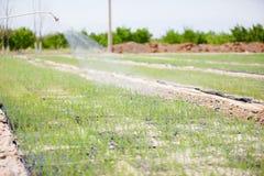 Giacimento dell'asparago fotografia stock libera da diritti
