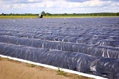 Giacimento dell'asparago in primavera prima del raccolto Fotografie Stock