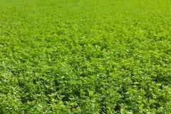 Giacimento dell'erba medica Fotografia Stock Libera da Diritti