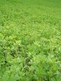 Giacimento dell'erba medica Immagine Stock Libera da Diritti