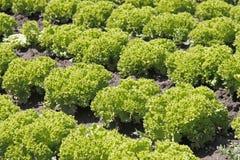 Giacimento dell'insalata Fotografia Stock Libera da Diritti