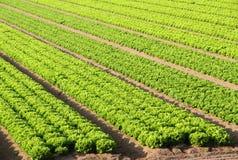 Giacimento dell'insalata su un'azienda agricola in Italia di estate Fotografia Stock