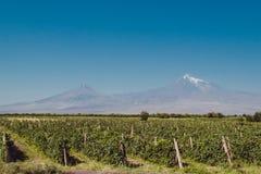 Giacimento dell'uva in valle dell'Ararat Il monte Ararat su fondo Raccolto dell'uva che esplora l'Armenia Concetto di viaggio e d Fotografie Stock Libere da Diritti