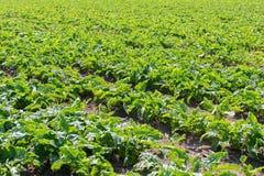Giacimento della barbabietola da zucchero Barbabietole da zucchero verdi nella terra Immagine Stock