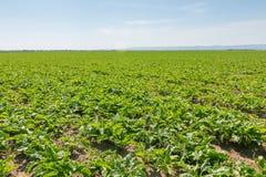 Giacimento della barbabietola da zucchero Barbabietole da zucchero verdi nella terra Fotografia Stock Libera da Diritti