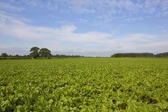 Giacimento della barbabietola da zucchero di estate Fotografia Stock