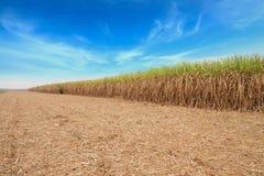 Giacimento della canna da zucchero Fotografia Stock Libera da Diritti