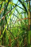 Giacimento della canna da zucchero Fotografie Stock