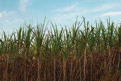Giacimento della canna da zucchero Immagini Stock