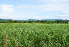 Giacimento della canna da zucchero con il fondo del cielo blu Corsa in Tailandia Fotografia Stock