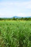 Giacimento della canna da zucchero con il fondo del cielo blu Corsa in Tailandia Fotografia Stock Libera da Diritti