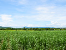 Giacimento della canna da zucchero con il fondo del cielo blu Corsa in Tailandia Immagini Stock