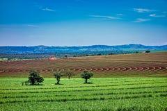 Giacimento della canna da zucchero con la piantatura delle linee nel giorno soleggiato con cielo blu in São Paulo, Brasile fotografia stock libera da diritti