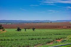 Giacimento della canna da zucchero con la piantatura delle linee nel giorno soleggiato con cielo blu in São Paulo, Brasile fotografia stock