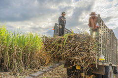 Giacimento della canna da zucchero, provincia di Tay Ninh, Vietnam Fotografie Stock