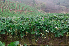 Giacimento della fragola alla montagna del angkhang di doi Immagine Stock