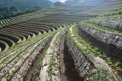 Giacimento della fragola di agricoltura in Tailandia Fotografia Stock Libera da Diritti