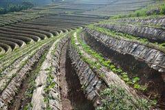 Giacimento della fragola di agricoltura in Tailandia Immagine Stock Libera da Diritti