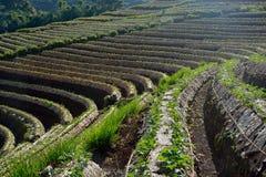 Giacimento della fragola di agricoltura in Tailandia Fotografia Stock