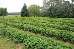 Giacimento della fragola nella campagna del Belgio Fotografie Stock Libere da Diritti