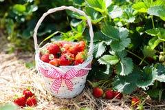 Giacimento della fragola sull'azienda agricola della frutta Merce nel carrello della bacca Fotografia Stock Libera da Diritti