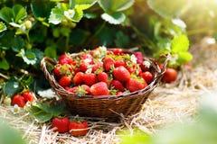 Giacimento della fragola sull'azienda agricola della frutta Merce nel carrello della bacca Fotografie Stock