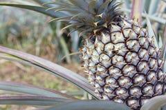 Giacimento della frutta dell'ananas Fotografia Stock