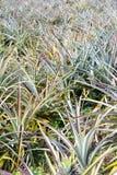 Giacimento della frutta dell'ananas Immagine Stock Libera da Diritti
