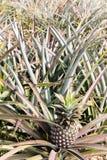 Giacimento della frutta dell'ananas Fotografia Stock Libera da Diritti